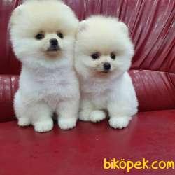Pomeranian Boo  Yavrularımız Gelmiştir
