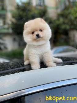 Pomeranian Booo 3
