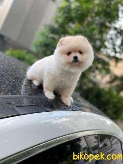 Pomeranian Booo
