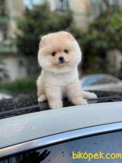 Pomeranian Booo 4