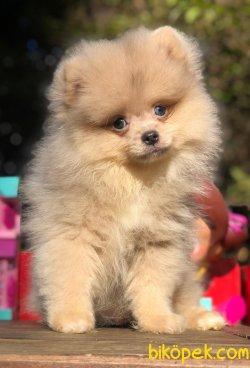 Pomeranian Gelmiştir.