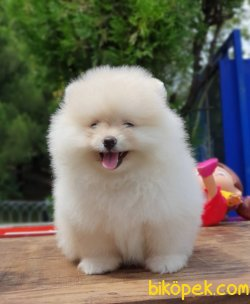Ayı Surat Pomeranian Yavrularımız