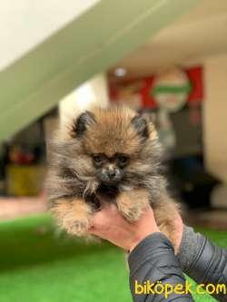 Pomeranian Kızımız Lucy