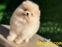 Pomeranian Teddy Bear 1