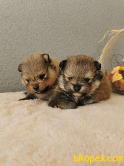 Pomeranian Tedy Bear Yavrularımız 5