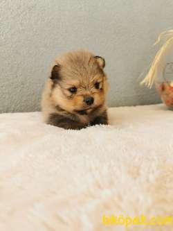 Pomeranian Tedy Bear Yavrularımız 2