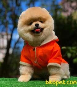 Pomeranian Yavrular Gelmiştir 1