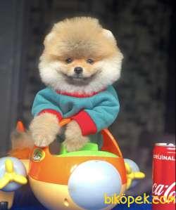 Pomeranian Yavrularımız Gelmiştir 2