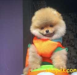Pomeranian Yavrularımız Gelmiştir 1