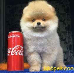 Pomeranian Yavrularımız Gelmiştir 3