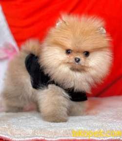 Pomeranian Yavrumuz