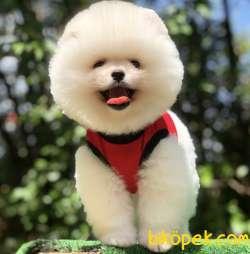 Çocuk Dostu Pomeranian Yavrumuz
