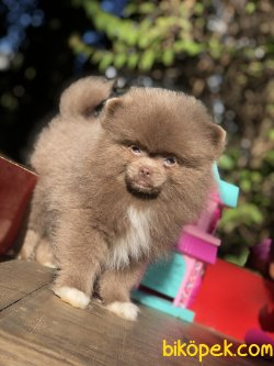 En Nadir Renklerde Pomeranian Yavrularımız
