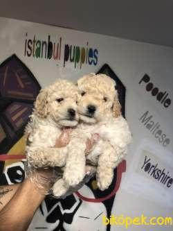 Poodle Yavrularımız Irk Ve Sağlık Garanti 4
