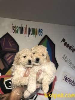 Poodle Yavrularımız Irk Ve Sağlık Garanti 1