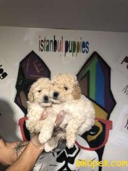 Poodle Yavrularımız Irk Ve Sağlık Garanti 2