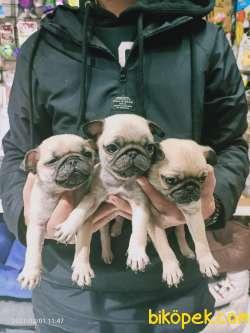 Pug Mops Yavruları 1