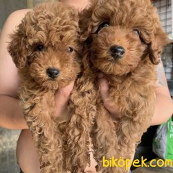 Red -Apricot-Silver Renklerde Toy Poodle Yavrular