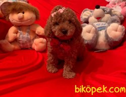 Red -Apricot Toy Poodle Yavrular