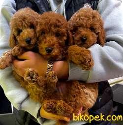 Red Brown Mini Toy Poodle Bebeklerimiz