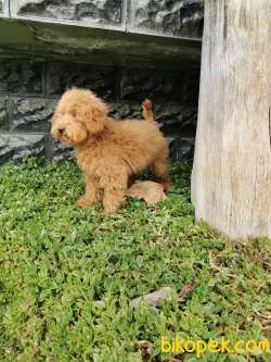 Red Brown Toy Poodle 3