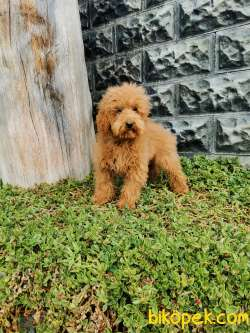 Red Brown Toy Poodle 4