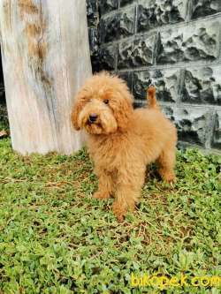 Red Brown Toy Poodle 2