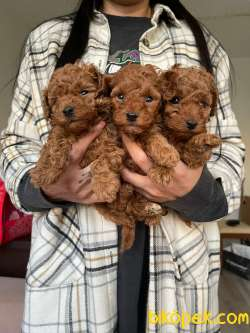 Red Brown Toy Poodle Yavrular 4