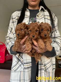 Red Brown Toy Poodle Yavrular 1