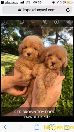 RED BROWN VE APRİCOT POODLE YAVRULAR