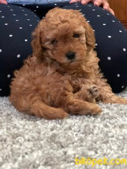 Red ,chocolate Ve Apricot Toy Poodle
