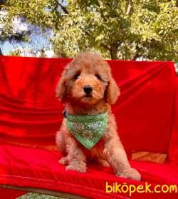 Red Light Toy Poodle Mini Boy Yavrular