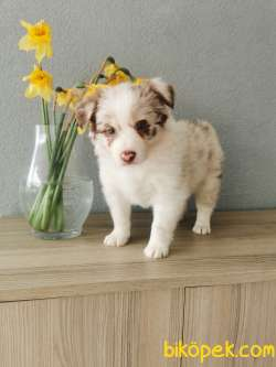 Red Merle Border Collie 4
