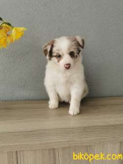 Red Merle Border Collie 2