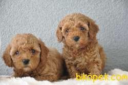 Red Poodle Yavrularımız 1