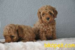 Red Poodle Yavrularımız 2