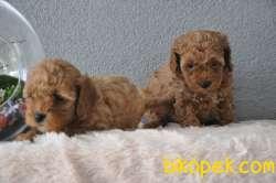 Red Poodle Yavrularımız 4