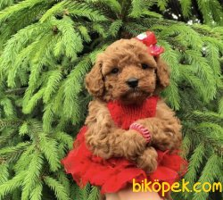 Red Toy Ve Tea Cup Poodle Pasaportlu Chipli