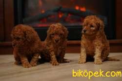 Red Ve Red Brown Toy Poodle Yavrularımız