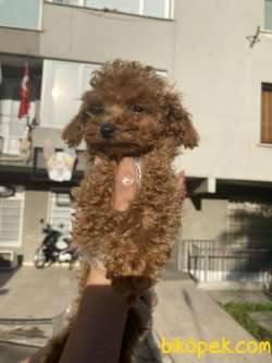 Redbrown Toy Poodle Gerçek Safkan Orjinal Garantli 1