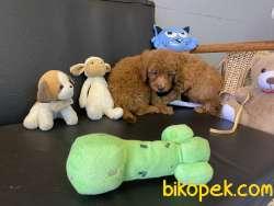 Redbrown Toy Poodle Yavrularımız