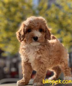 Rengarenk Toy Poodle Bebekler