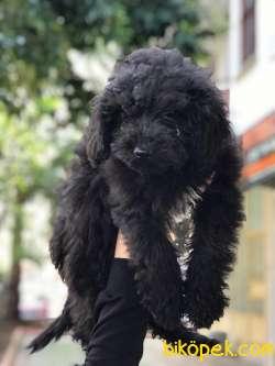 Rusya Scr'li Toy Poodle Yavrular 3