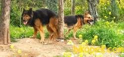 Safkan Alman Kurdu Yavruları, Alman Çoban Köpeği