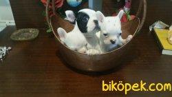 Safkan Fransız Bulldog Yavrularımız