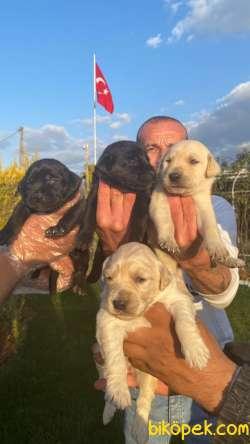 Safkan Labrador Yavrularım Evlerin Neşe Kaynağı Mıcır Yavrular
