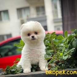 Safkan Pomeranian Boo Kızımız DOROTY / Yavrupatiler 4