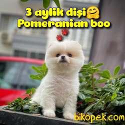 Safkan Pomeranian Boo Kızımız DOROTY / Yavrupatiler 1