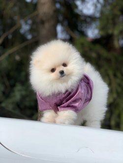 Safkan Pomeranian Boo Yavrularimiz Icin Ulasabilirsiniz