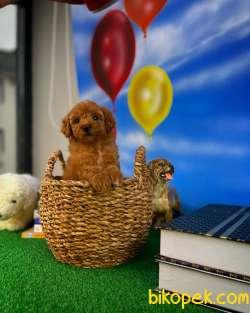 Safkan Red Brown Toy Poodle Oğlumuz Pody  Yavrupatiler 2